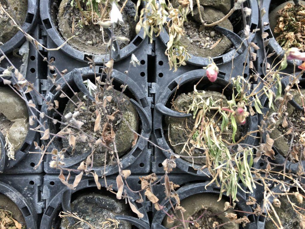 壁面緑化 福岡 アートキャンパス イベリス セダム ラミウム ロベリア ビオラ パンジー